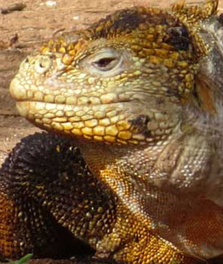 The Galapagos land iguana (Conolophus Subcristatus)